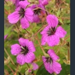 Picture of Geranium psilostemon