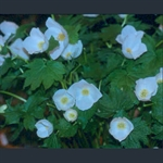 Picture of Glaucidium palmatum