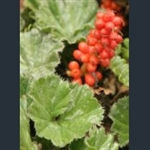 Picture of Gunnera magellanica