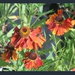 Picture of Helenium 'Moerheim Beauty'