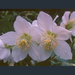 Picture of Helleborus niger