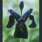 Picture of Iris chrysographes black-flowered