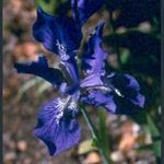 Picture of Iris tectorum