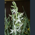 Picture of Ornithogalum nutans