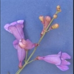 Picture of Penstemon azureus