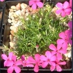 Picture of Phlox douglasii 'Crackerjack'