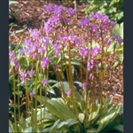 Picture of Primula (Dodecatheon) meadia