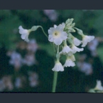 Picture of Primula alpicola