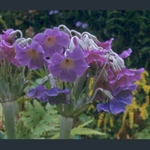 Picture of Primula alpicola 'Kevock Sky'