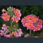 Picture of Primula x bulleesiana