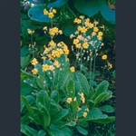 Picture of Primula cockburniana 'Kevock Sunshine'