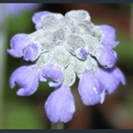 Picture of Primula concholoba
