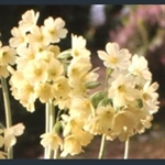 Picture of Primula elatior