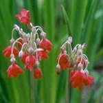 Picture of Primula florindae red-flowered