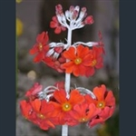 Picture of Primula 'Inverewe'