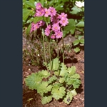 Picture of Primula polyneura