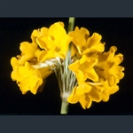 Picture of Primula prolifera