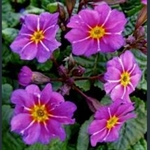 Picture of Primula 'Kinlough Beauty'