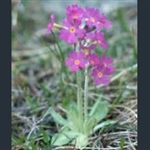 Picture of Primula yuparensis