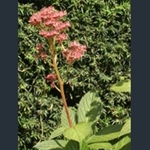 Picture of Rodgersia pinnata 'Elegans'