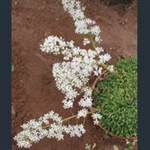 Picture of Saxifraga callosa