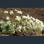 Picture of Saxifraga 'Kath's Delight'