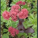 Picture of Hylotelephium (Sedum) 'Matrona'
