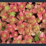 Picture of Phedimus (Sedum) spurius 'Dragon's Blood'