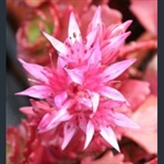 Picture of Sedum spurium 'Ruby Mantle'
