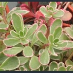 Picture of Sedum spurium 'Tricolor'