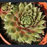Picture of Sempervivum 'Heigham Red'