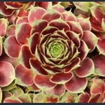 Picture of Sempervivum 'Rebecca'
