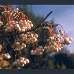 Picture of Sorbus cashmiriana