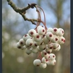 Picture of Sorbus microphylla agg.