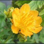 Picture of Trollius ircuticus