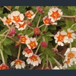 Picture of Zaluzianskya ovata 'Orange Eye'