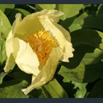 Picture of Paeonia mlokosewitschii (seed grown)