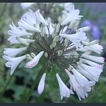Picture of Agapanthus 'Albus'
