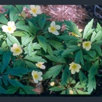 Picture of Anemone x lipsiensis 'Pallida'