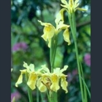 Picture of Iris forrestii bulleyana mix
