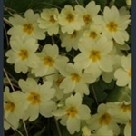 Picture of Primula vulgaris