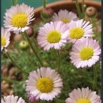 Picture of Erigeron compositus