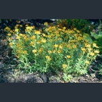 Picture of Saxifraga aizoides