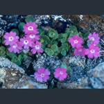 Picture of Primula hirsuta red-flowered