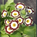 Picture for category Primula auricula cultivars