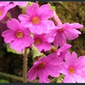 Picture for category Primula Obconicolisteri section