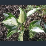 Picture of Hosta 'Revolution'