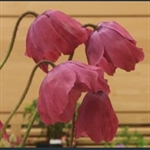 Picture of Meconopsis x cookei 'Old Rose'