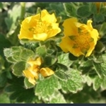 Picture of Potentilla aff. polyphylla ex