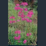 Picture of Primula wilsonii